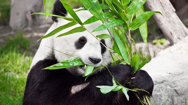 Panda probeert uit verblijf te ontsnappen