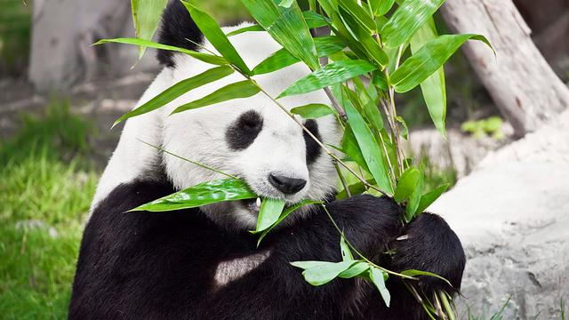 'Panda's kunnen bamboe niet goed verteren'