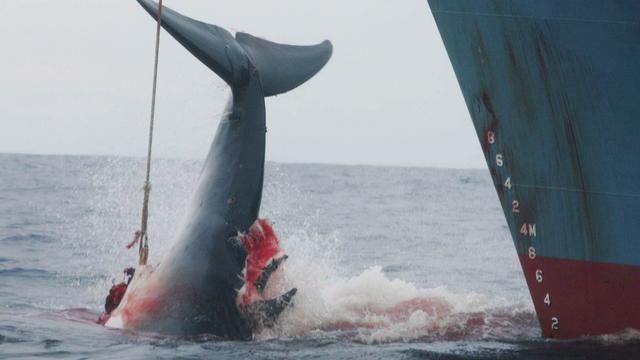 Japan gebruikt rampenfonds voor walvisjacht