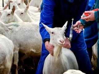Q-koorts brak in 2007 uit op een geitenboerderij in Brabant