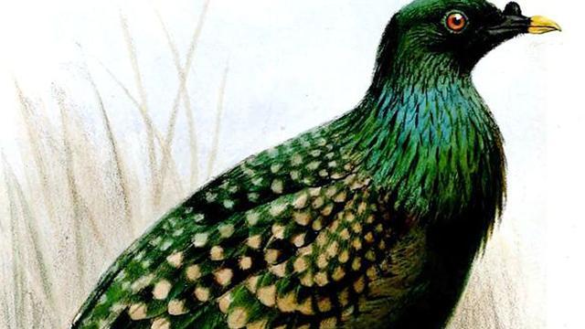 'Gevlekte groene duif was familie van dodo'