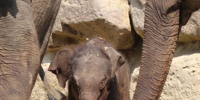 Geboorte olifantenjong Diergaarde Blijdorp live te volgen