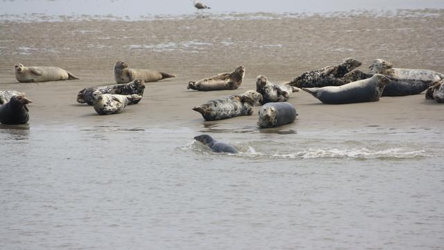 In totaal tweehonderd zeehonden dood door griepvirus Waddenzee