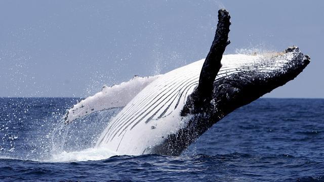 Wetenschappers brengen dialecten van walvissen in kaart