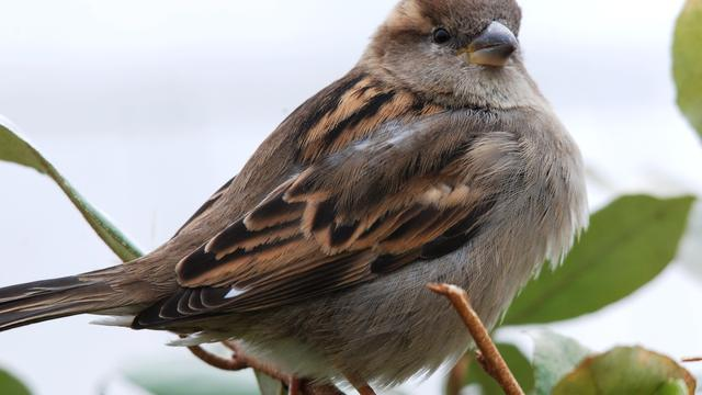 Huismus zaterdag meest getelde vogel bij tuinvogeltelling