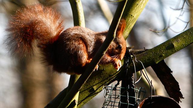 Twentse eekhoorns vallen dood uit bomen