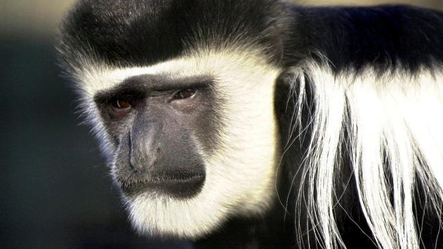 Apen maken lawaai om 'stoer te doen'