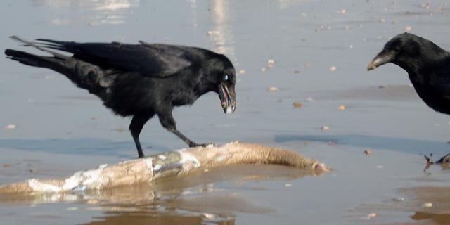 Raven gebruiken gebaren om te communiceren