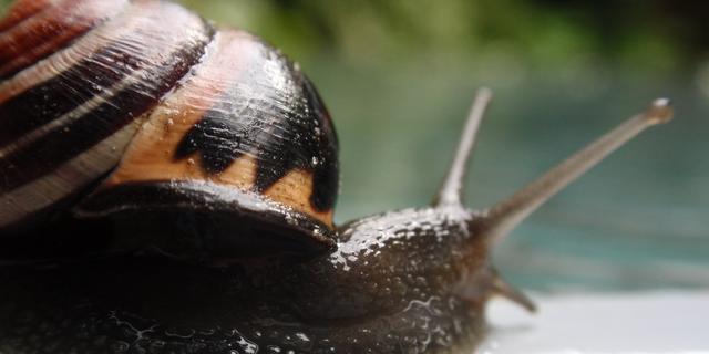 Rondwormen gebruiken slakken als 'taxi'