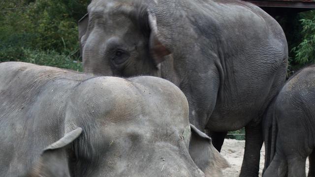 Aangifte tegen Dierenpark Emmen na val olifant
