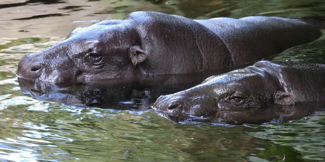 Nijlpaard in Duitse dierentuin overlijdt na inslikken tennisbal