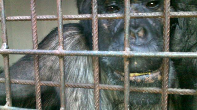TNO staakt proeven met apen
