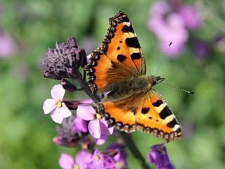 Vlindersoort op zeker dertig plaatsen waargenomen
