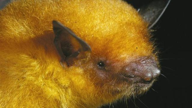'Gouden' vleermuissoort ontdekt in museumcollecties