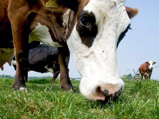Brabantse koe draait met bijna 200.000 liter zelfs mee in wereldtop