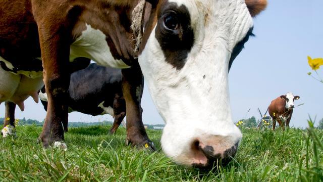 FrieslandCampina wil koe in de wei