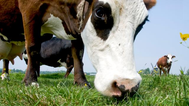 Man overlijdt door aanval koe