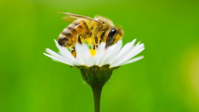 'Bijen gaan harder werken voorafgaande aan regenbui'
