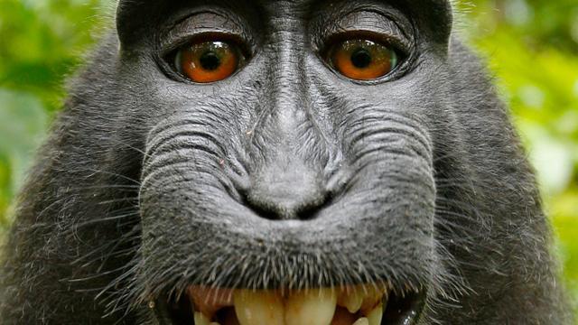 Wikipedia weigert selfie van aap te verwijderen