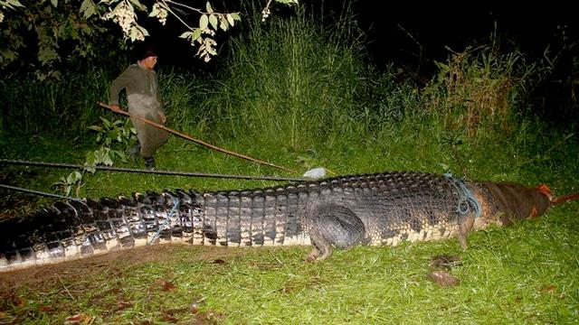 'Grootste krokodil ooit gevangen'