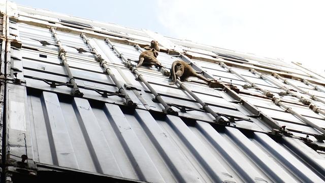 Java-apen uit Maleisië definitief verhuisd naar stichting AAP