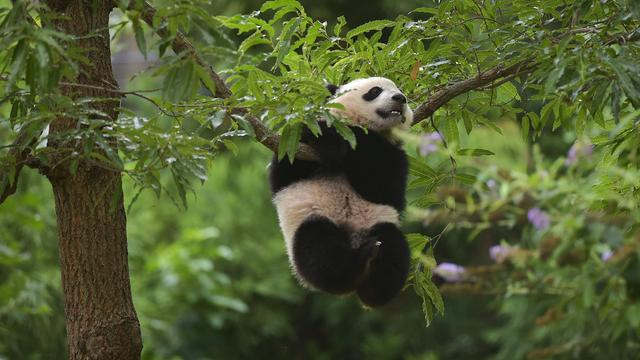 'Panda's bewegen verrassend weinig'