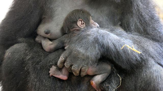Artis verwelkomt gorilla