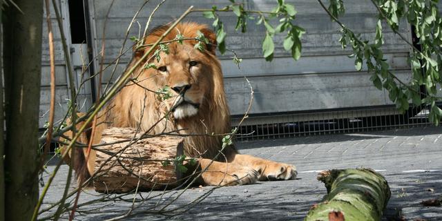 Leeuwen ernstig bedreigd in West-Afrika door landbouw