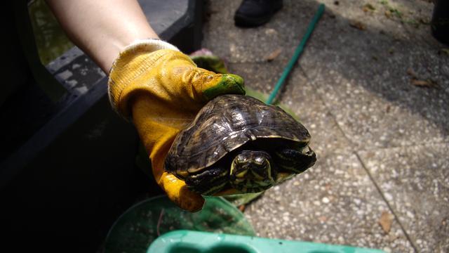 Onbekende stuurt schildpad met ballonvaart