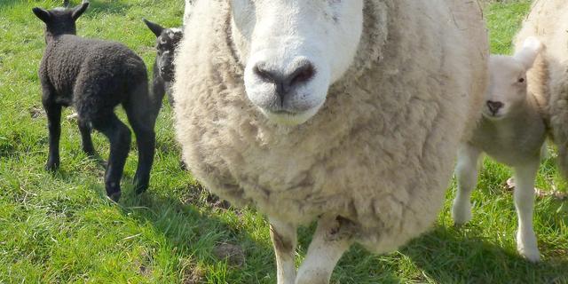 Bijna 250 schapen gestolen uit weilanden