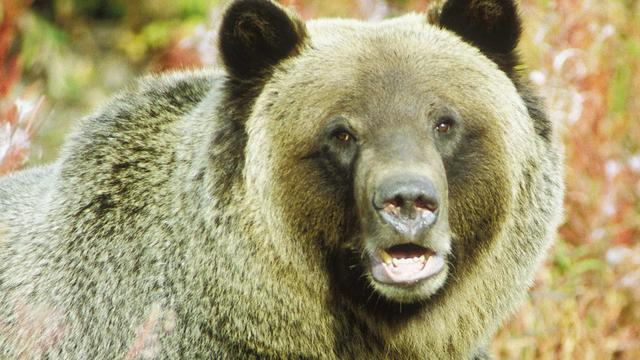 Weer dode door grizzly in Yellowstone