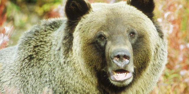 Weer dode door grizzly in Yellowstone