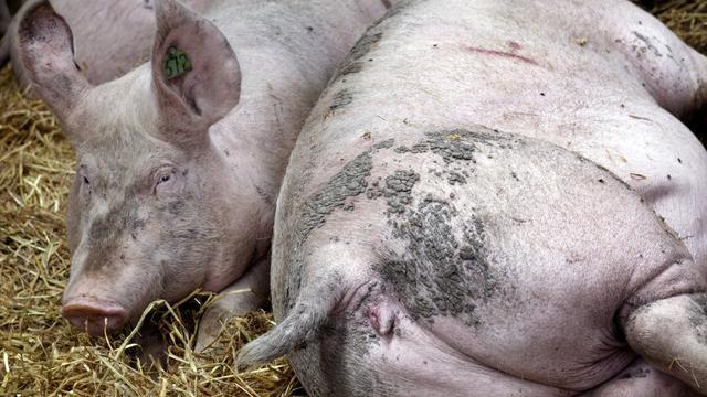 Auto-immuunziektes behandeld met varkensparasieten