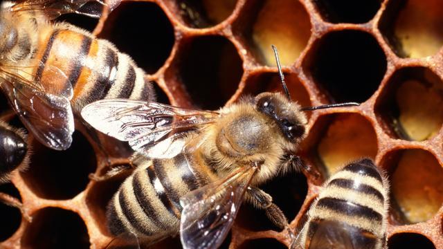 'Bijen stierven bijna uit met dinosauriërs'