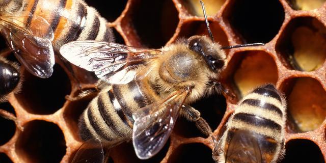 Pesticiden mogelijk oorzaak massale sterfte bijen