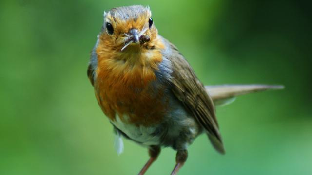 Vogelgezang verleidt vruchtbaar vrouwtje