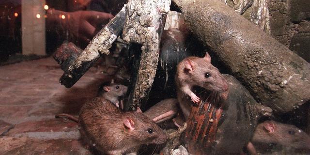 Opgestuurde rattenkeutels bewijs resistentie