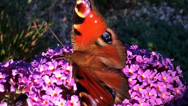 'Opvallend weinig vlinders deze zomer'