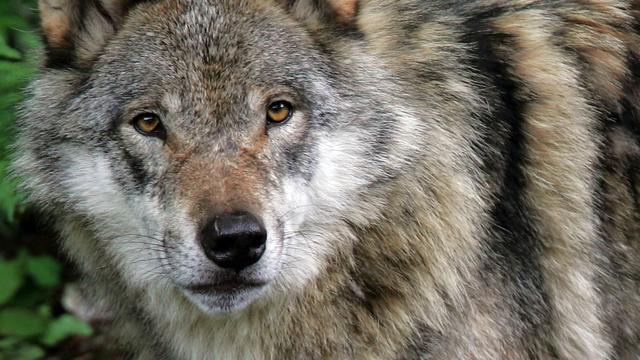Wolf rukt op naar Berlijn