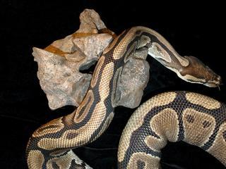 Meterslange python ontdekt door passagier