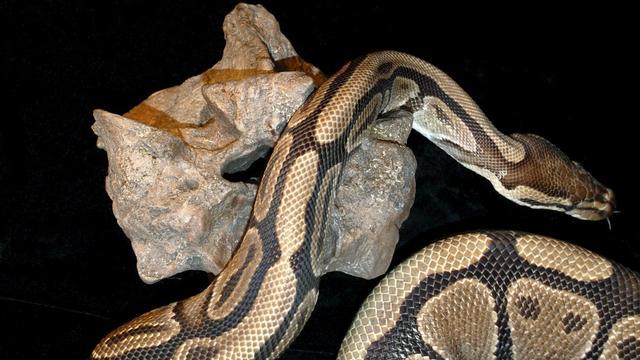 Grote hoeveelheid gevaarlijke reptielen in New York ontdekt