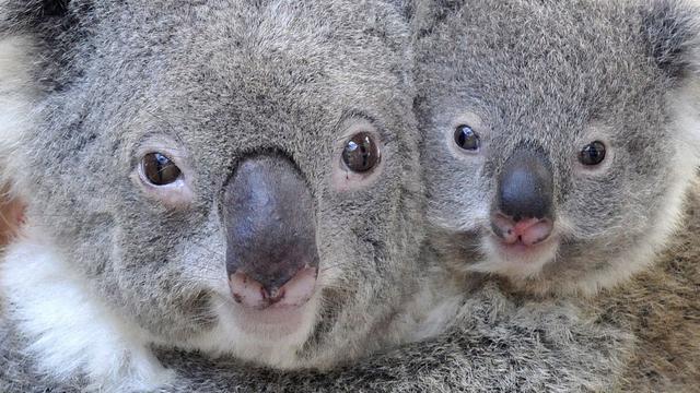 Australische rangers worstelen met koalaplaag