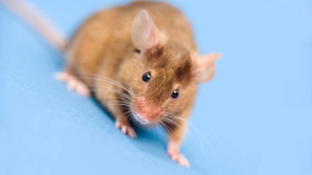 Engelse vrouw treft dode muis aan in cornflakes