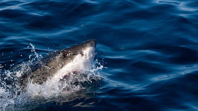 Surfer dood na aanval haai in Californië