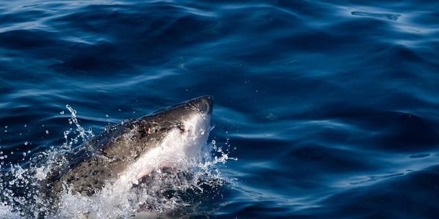Witte haai doodt Nieuw-Zeelandse zwemmer