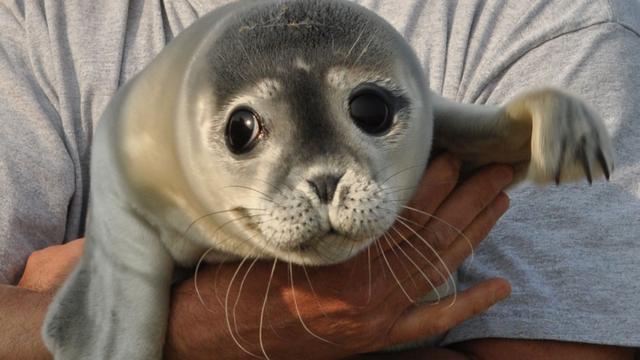 Noord-Hollandse zeehonden Ecomare kunnen naar Pieterburen