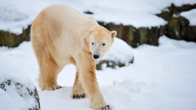 Fans herdenken ijsbeer Knut
