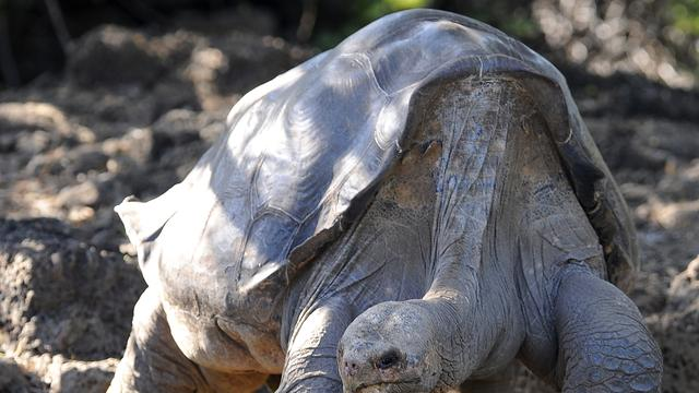 Galapagos-symbool 'Lonesome George' gestorven