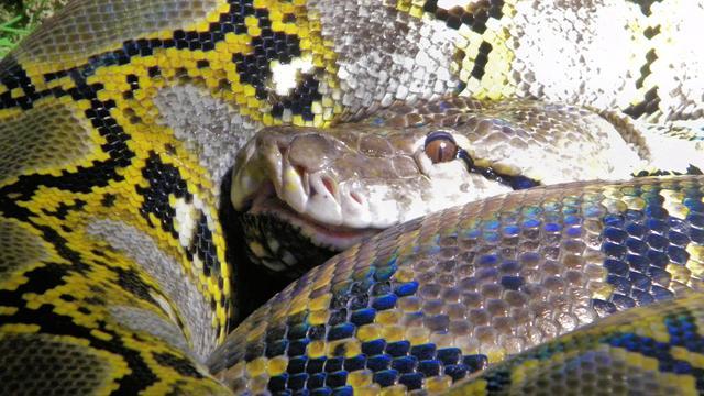 Brit krijgt python terug die man probeerde op te eten