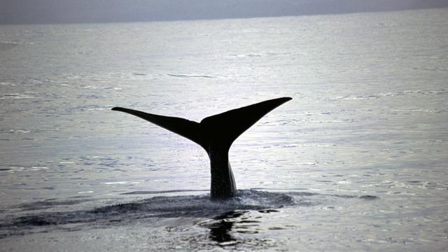 Visser redt zeldzame walvis